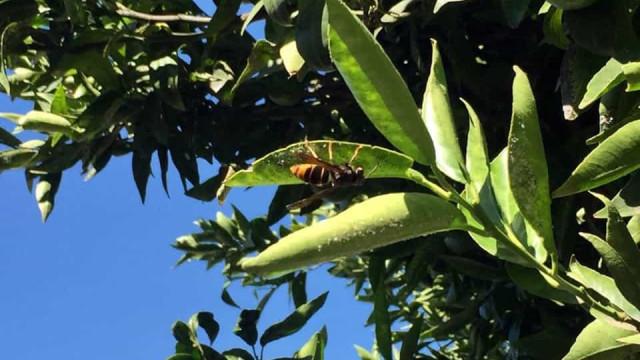 Homem morre após ataque de vespas asiáticas enquanto cortava gramado