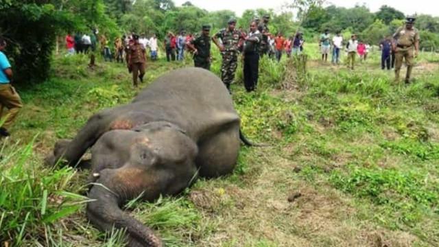 Elefantas encontradas mortas no Sri Lanka podem ter sido envenenadas