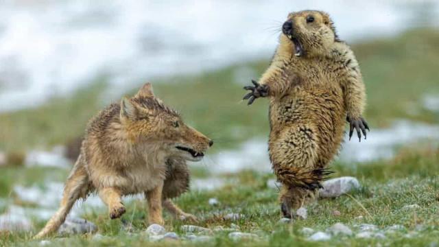 Luta de raposa e marmota é a fotografia de vida selvagem do ano