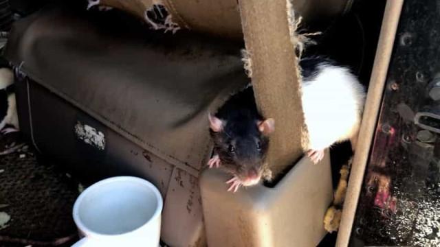 Americana faz acordo para dar 320 ratazanas que viviam com ela em carro