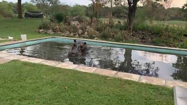 Hipopótamo invade piscina de família para se refrescar