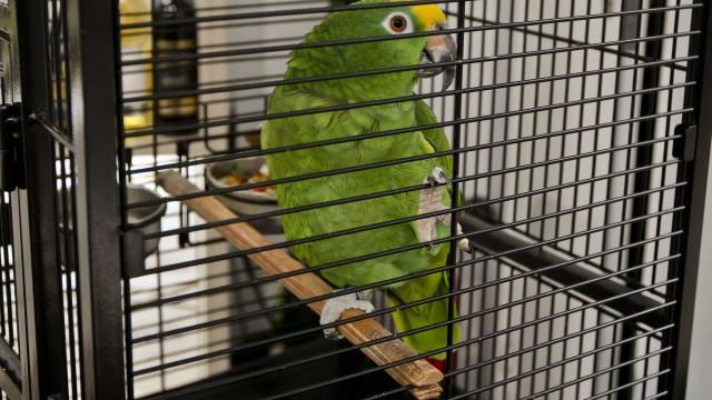 Papagaio salva família de incêndio, mas não sobrevive
