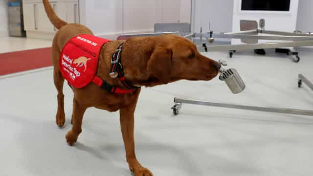 Projeto treina cães para detectarem coronavírus em humanos