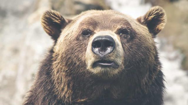 Empresária russa é morta após ser atacada por urso em estrada