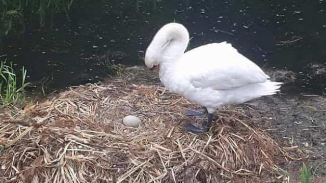 Cisne morre de desgosto após grupo de vândalos partir os ovos do ninho