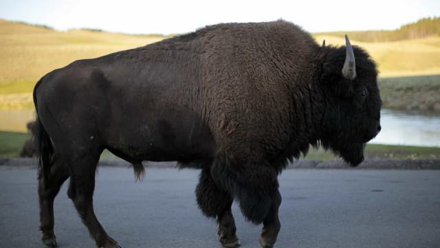 Mulher de 72 anos aproxima-se de bisonte para tirar foto e é atacada
