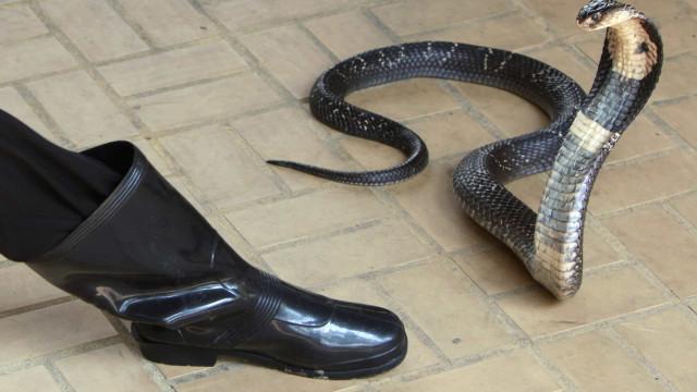 Polícia encontra mais 16 cobras e suspeita de jovem picado por naja