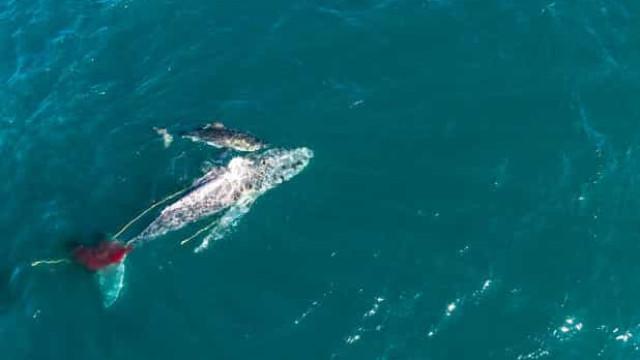Tubarão é filmado 'afogando' enorme baleia em ataque assustador