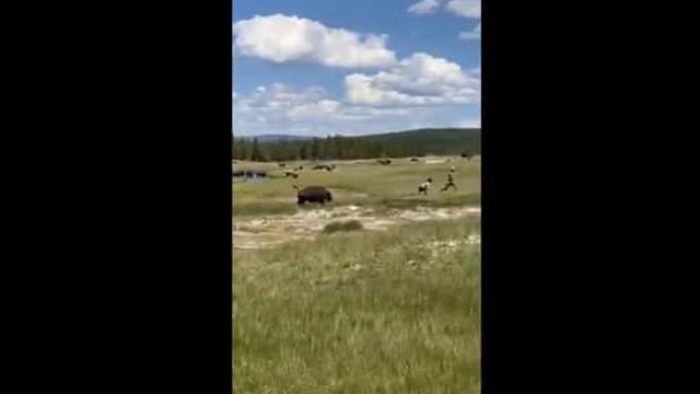 Mulher se finge de morta para evitar ataque de bisonte nos EUA