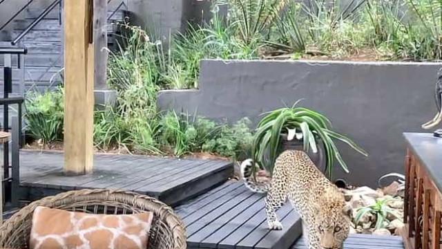 Leopardo 'passeia' por restaurante na África do Sul enquanto caçava