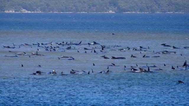 Cerca de 70 baleias encalhadas na Tasmânia, lançada operação de resgate
