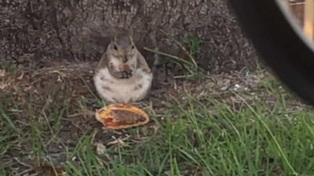 Esquilo é flagrado comendo um hambúrguer na Florida