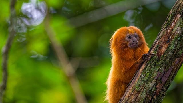 Vacinação inédita no mundo busca salvar mico-leão-dourado da febre amarela