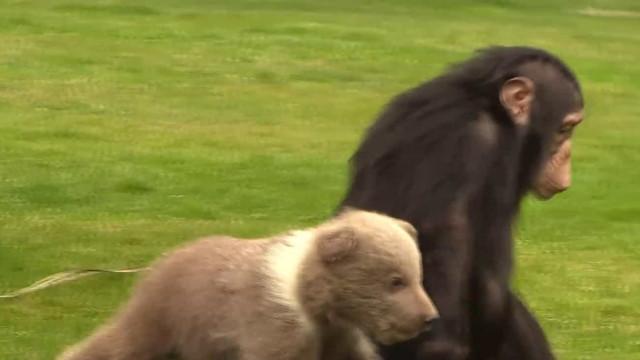 Chimpanzé e urso bebê tornam-se melhores amigos em Zoo da Turquia