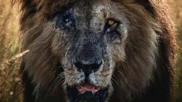 Scarface, o leão mais famoso do mundo, morre aos 14 anos