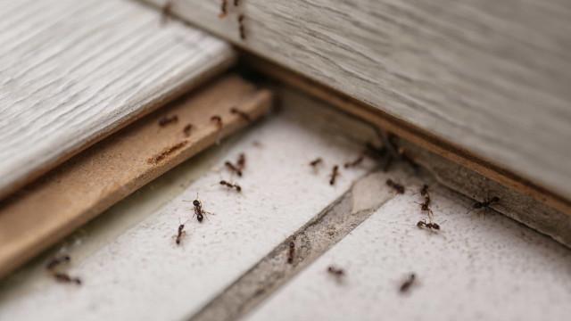 Infestação de formigas? Use esta mistura caseira com limão