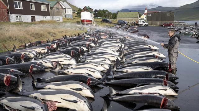 Ilhas Faroé  abateram mais de 1.400 golfinhos