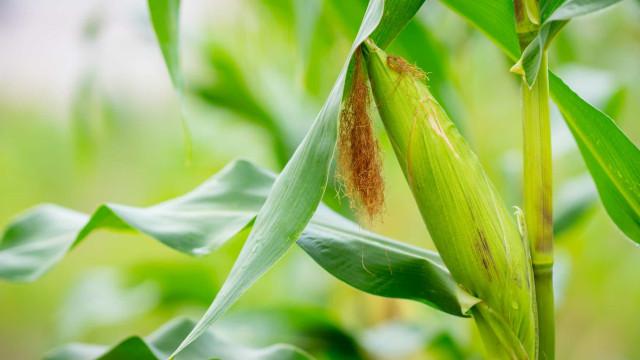 Publicada a MP que zera PIS/Cofins na importação de milho até o fim do ano