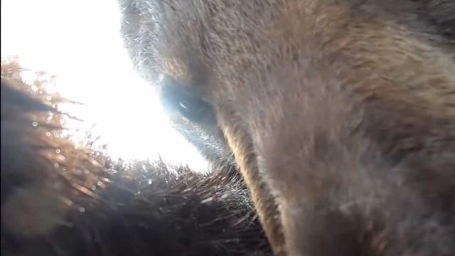 Urso descobre GoPro e decide gravar o seu próprio filme