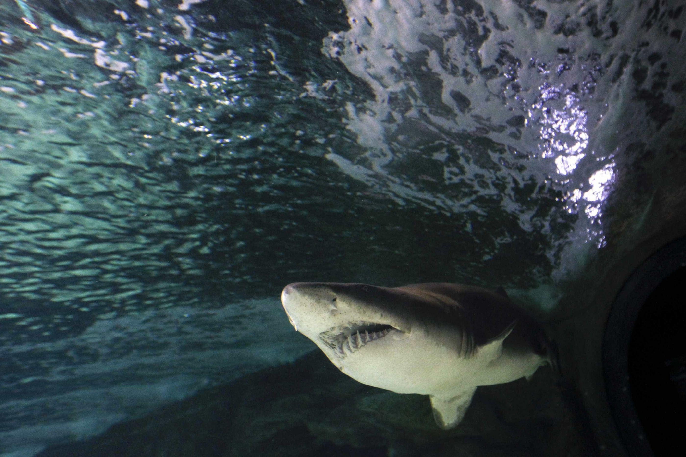 Quatro tubarões são mortos após ataques a banhistas na Austrália