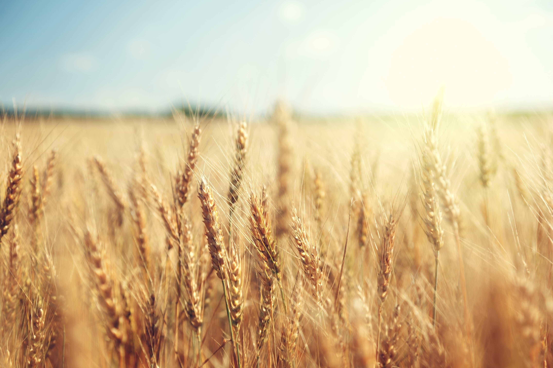 Brasil deve derrubar barreiras para importação de trigo dos EUA