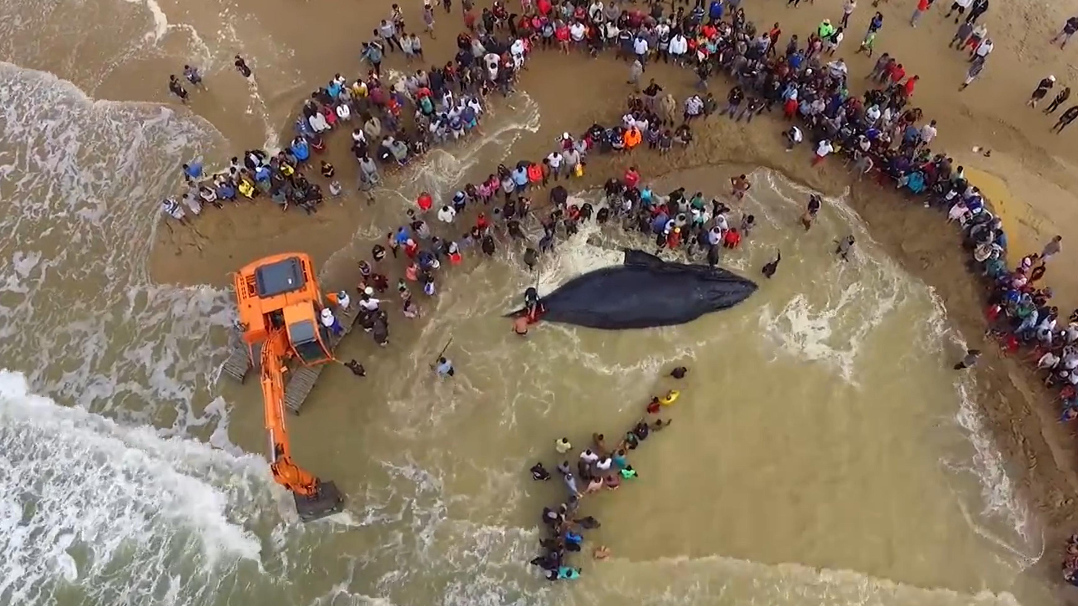 Baleia de 7 toneladas é salva após 20 horas encalhada
