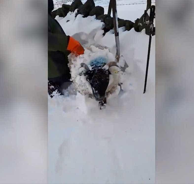 Homem salva ovelhas enterradas na neve