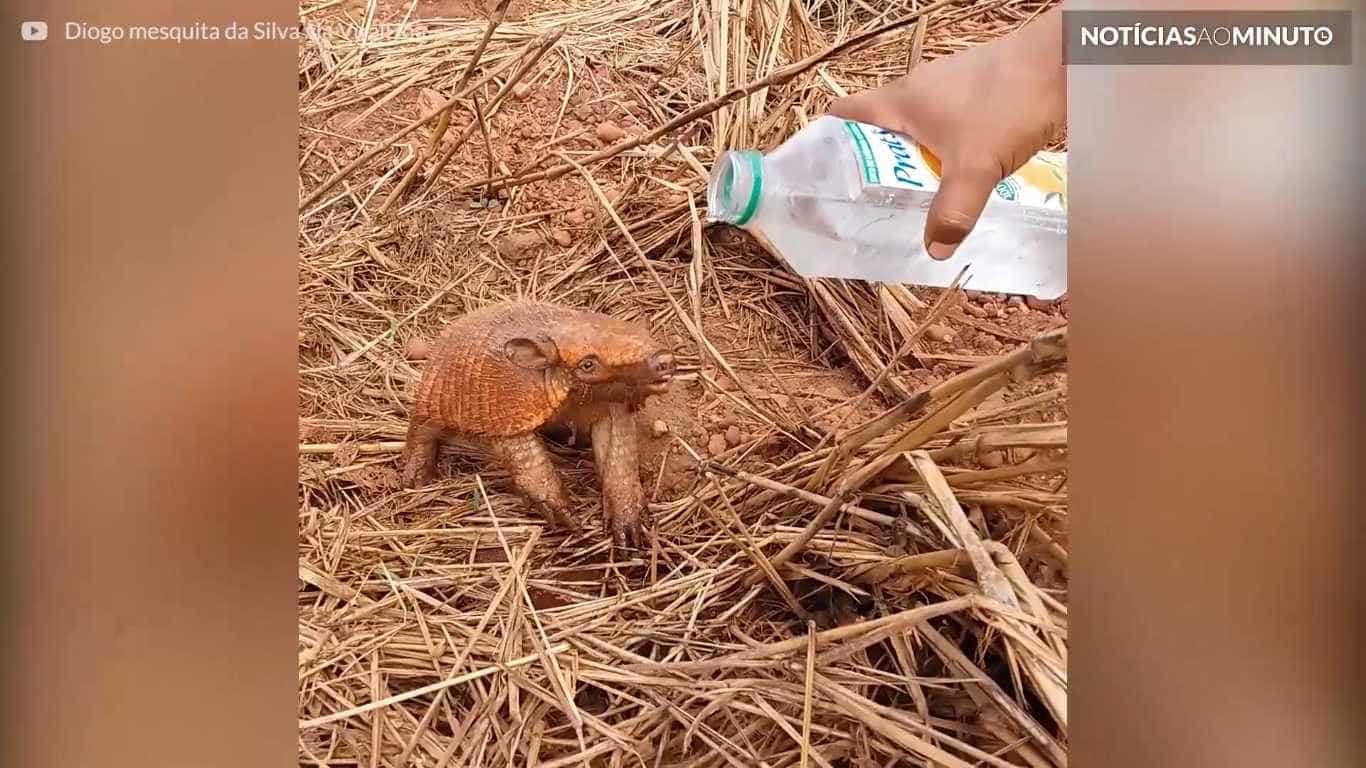 Tatu com sede bebe água da garrafa no Mato Grosso do Sul