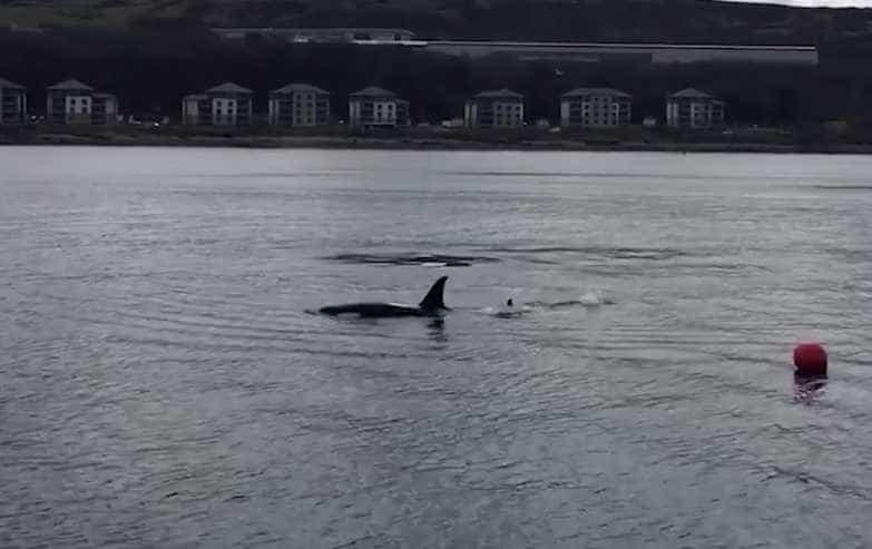 Orcas 'cumprimentam' passageiros de barco na Escócia