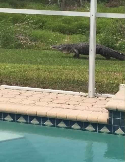 Jacaré é filmado ao lado de piscina privada na Flórida