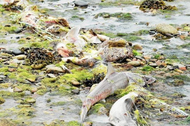 Mais de 400 tubarões mortos aparecem na costa de praia francesa