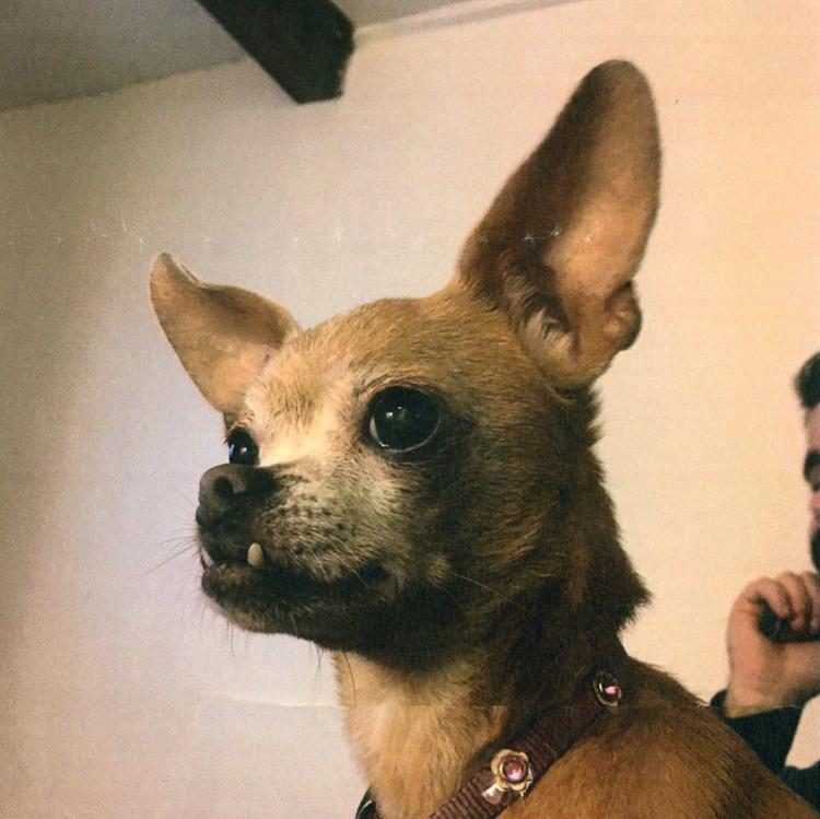 Estes são os concorrentes ao título de 'cão mais feio do mundo'