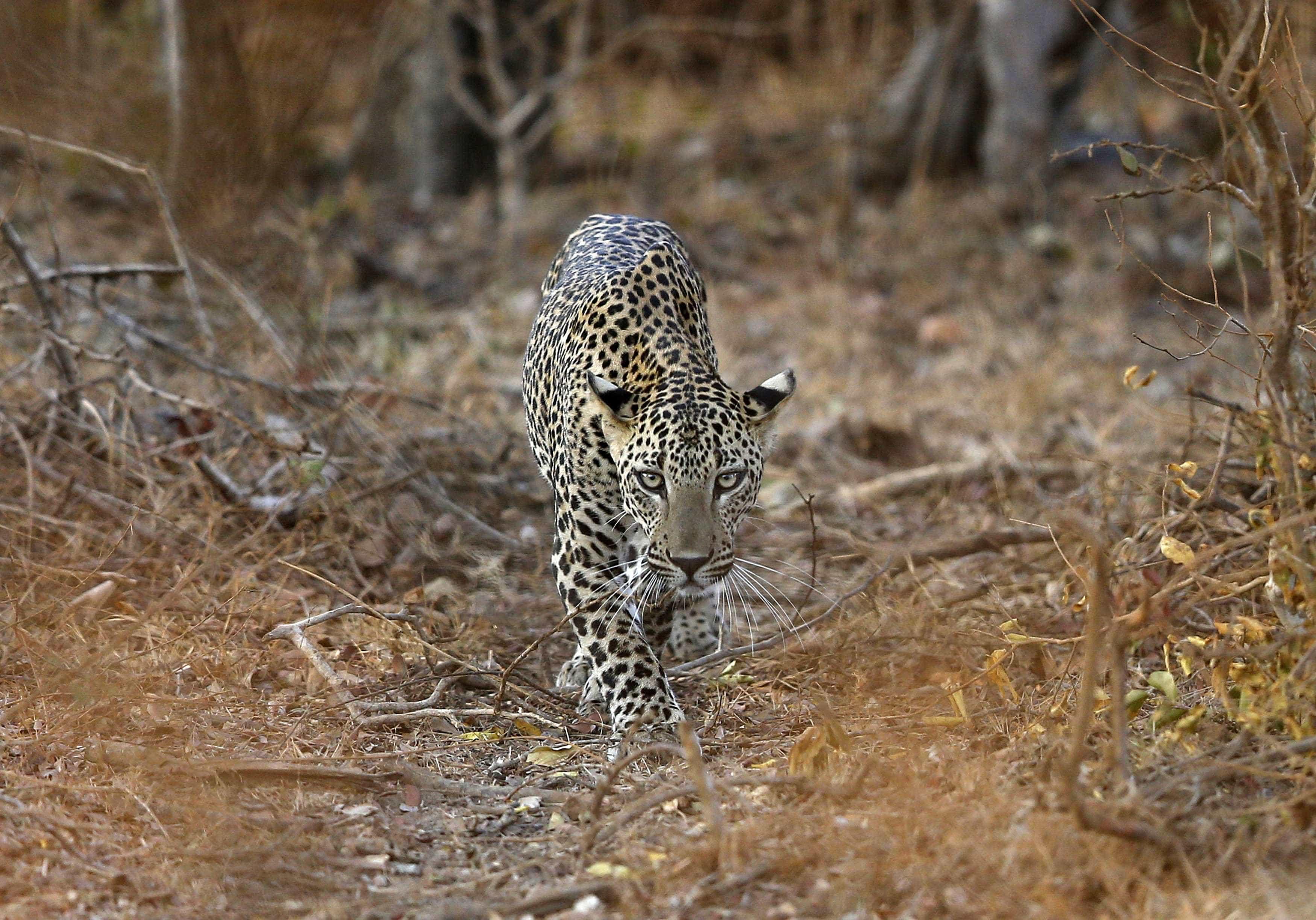 Homens são presos no Sri Lanka por matarem leopardo em extinção