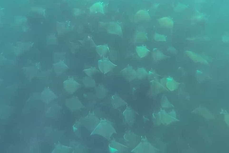 Mergulhador capta imagens magníficas de centenas de raias