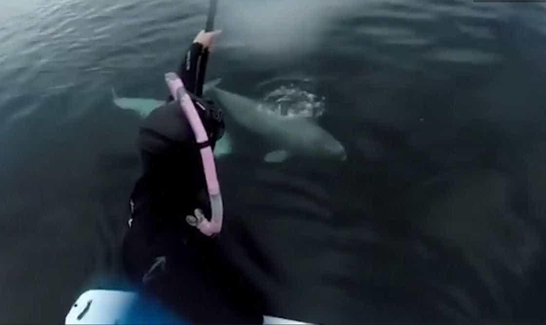 Duas baleias belugas surpreendem surfista no Canadá