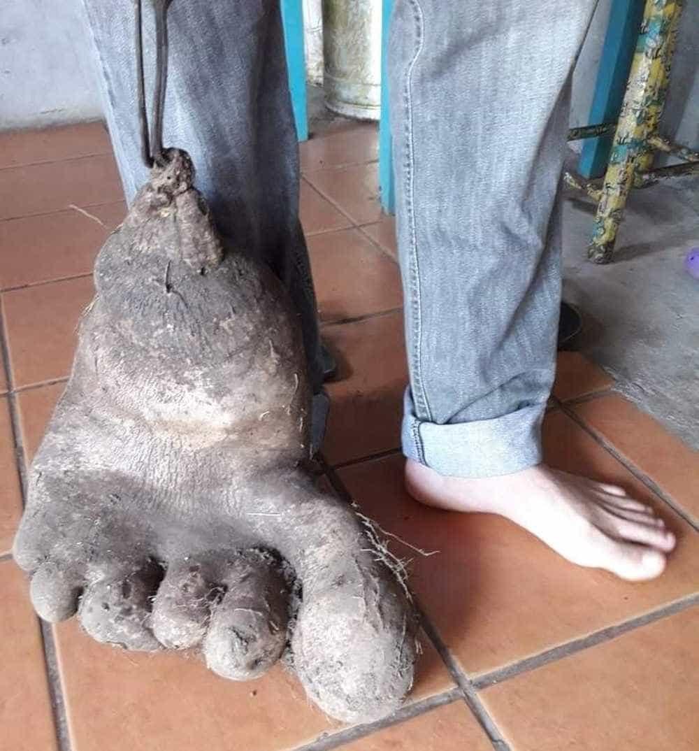 Batata com formato de pé? Casal encontra tubérculo de 8kg