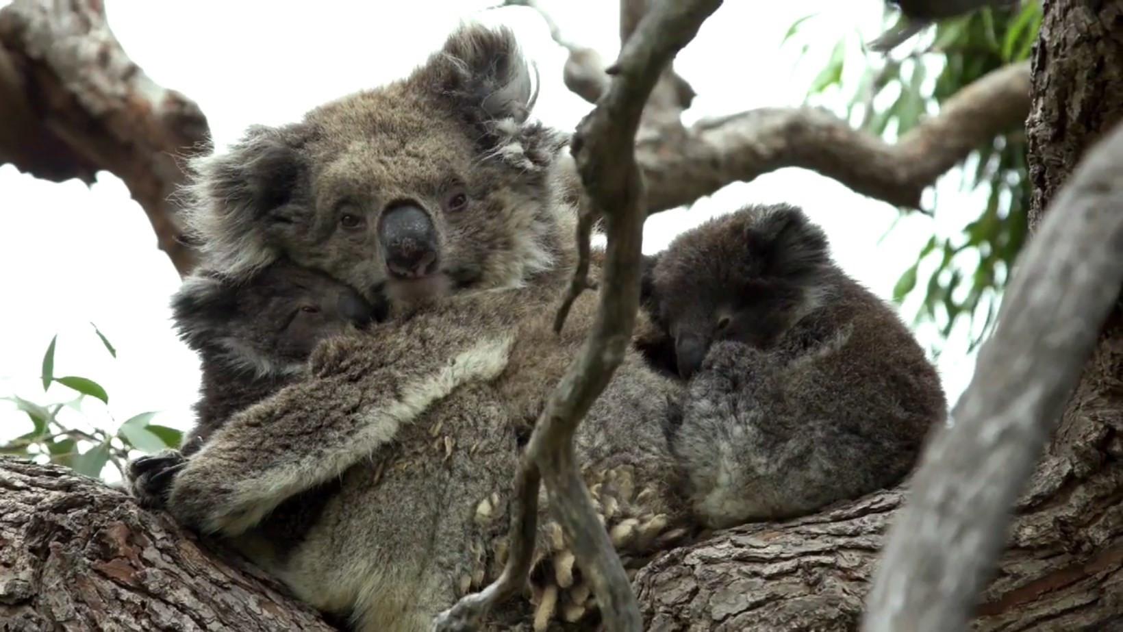 Raro nascimento de coalas gêmeos é captado em vídeo