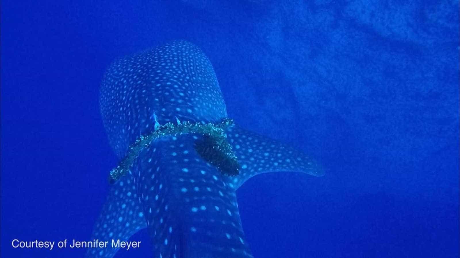 Mergulhadores salvam tubarão-baleia com corda presa ao redor do corpo