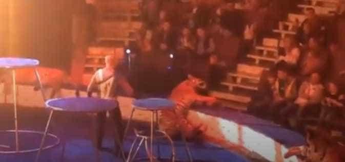 Tigre desmaia durante apresentação em circo na Rússia
