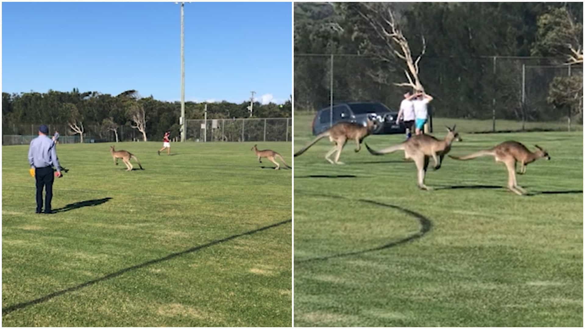 Cangurus invadem partida de futebol na Austrália