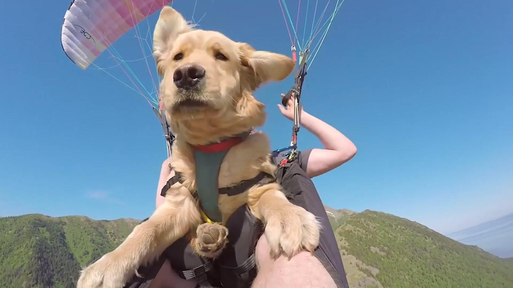 Este Golden Retriever é um cachorro muito aventureiro