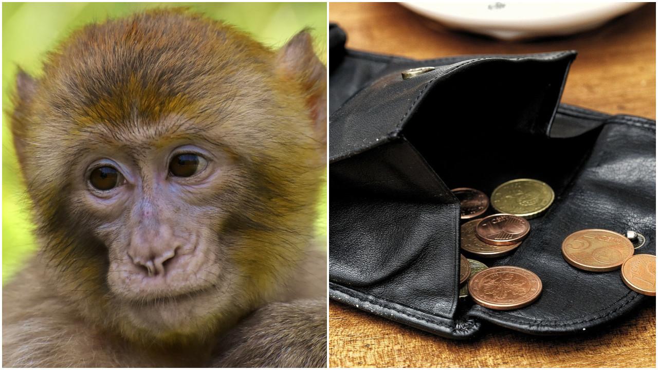 Macaco assalta um parque de estacionamento na Índia; veja