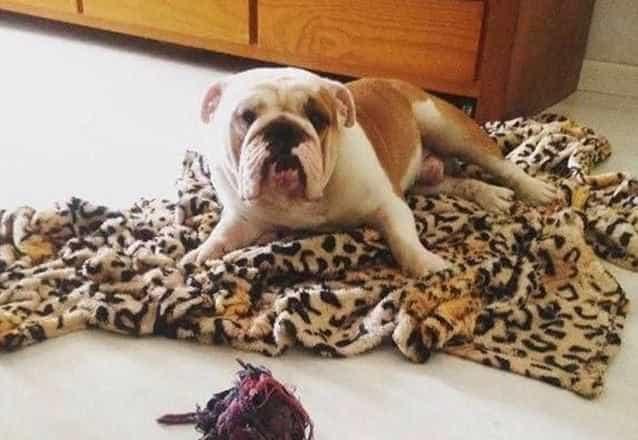 Dona de cão que morreu em voo acusa companhia aérea de negligência