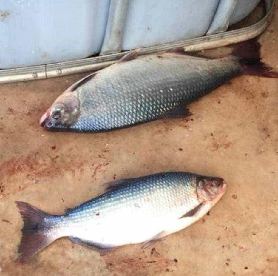 Peixes contaminados são furtados de laboratório da Unesp