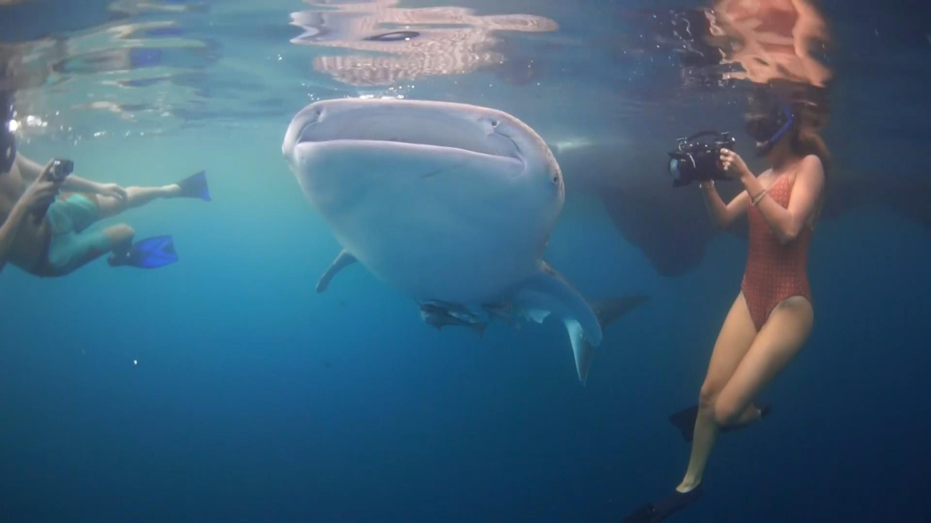 Mergulho com tubarões-baleia: uma experiência incrível