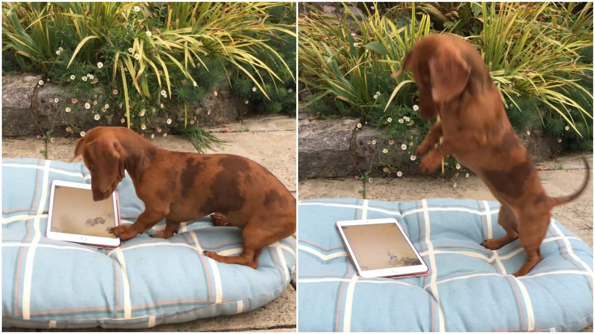 Cadela se diverte pegando esquilos no tablet