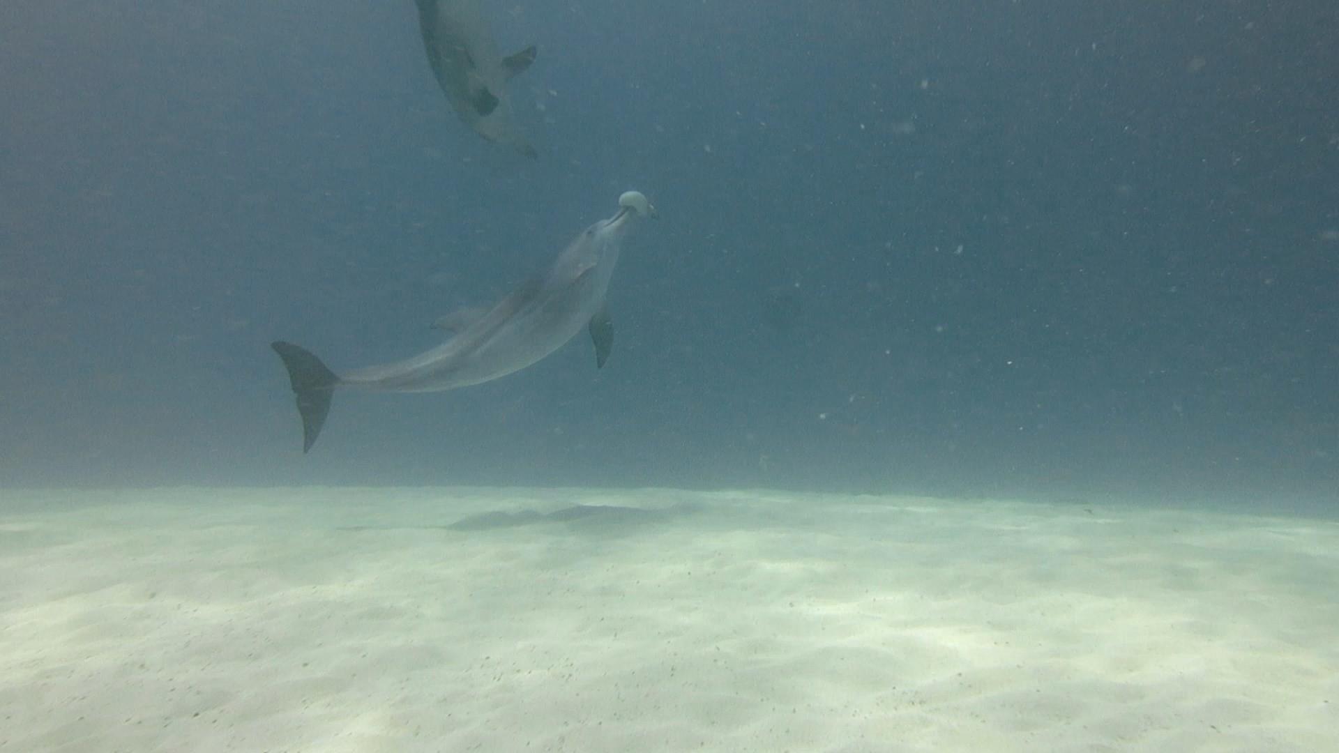 Mergulhadora encontra golfinhos brincando com peixe-balão