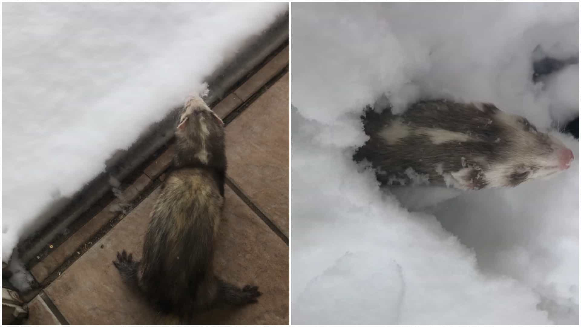 Furão fica entusiasmado ao ver neve pela primeira vez