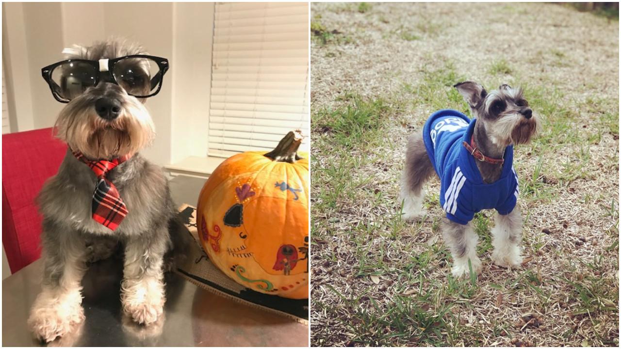 Cachorro de pequeno porte desafia a morte ao brigar com amigo pitbull
