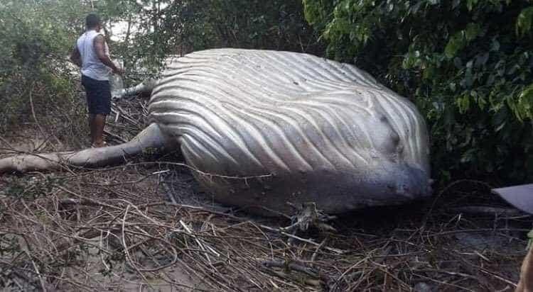 Mistério: baleia jubarte é encontrada no meio do mato no Pará